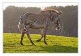 Grévy Zebra