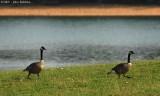 Goose Grass