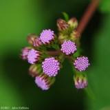 Ironweed To Bloom