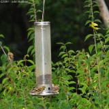 Goldfinch Gang