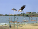 Storks at Imperial Beach