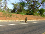 Baboons in the Road