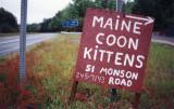 Maine Coon Kittens (Brimfield, MA)