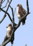 Redtailed hawk pair