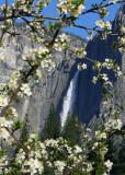 Yosemite Falls through the crabapple tree