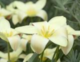 Batalin Tulip