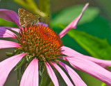 Purlpe Cone Flower with Butterfly