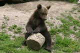 June 19: Young cub drumming?