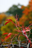 October 17: Red twigs