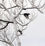 Magpie leaving snowy tree