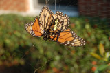 Beauty and the Beast - Garden Spider and Monarch
