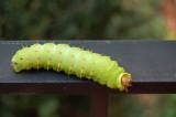 Luna Moth Caterpillar