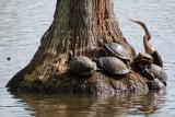 Turtles and Anhinga