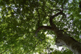 Same tree in summer
