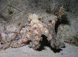 Octopus on night dive