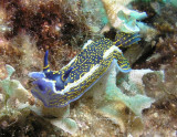 Blue nudibranch 3