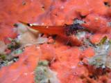 Triplefin blenny, Cyprus