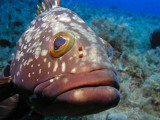 Very friendly grouper