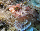 Close-up of a scorpionfish