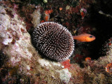 Purple sea urchin with a cardinalfish.