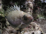Rabbit fish at night--looks like a bad case of bed head