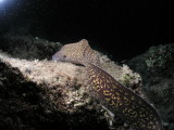 The moray eel came completely out and swam around