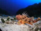 Very large scorpionfish at 140 feet--yikes, what was Bob doing that deep?
