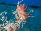 My dives aren't complete without as least one nudibranch