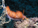 It doesn't seem like a dive in Turkey without a nudibranch.