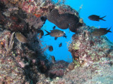 Brown chromis by the reef