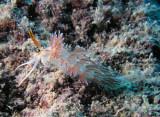 Favorinidae nudibranch?