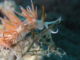 It's homing in on the hydroid polyp