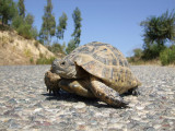 Tortoise on a local road