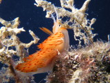 Orange nudibranch at 85' deep