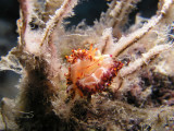 A pair of Flabellina rubrolineata nudibranchs--these migrated into the Med from the Red Sea