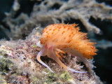 A third orange nudibranchs--you can make out the eyes