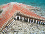 Red comb star