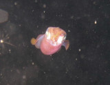 Here is a squid on the night dive we did at Ovacik.