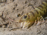 Here is another tiger prawn, not as big as the first