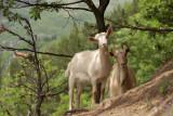 Goats near Kriva Palanka
