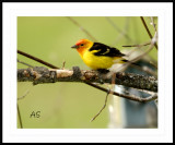 Western-Tanager.jpg