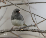 darkeyedJunco-copy.jpg