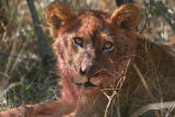MM A little cub after eating warthog.  His mom lost her tail a few months before this and couldn't hunt for awhile.