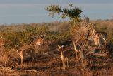 MM Impala herd