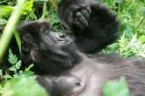 Reflective gorilla