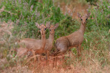 Dikdiks. They are very small.  They weigh 8-12 lbs and are 1 - 1 ¼ ft tall at the shoulder,
