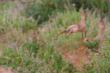 Dikdiks. I know it's blurry but this is what they look like running (flying!) away.