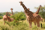 A jumbled herd of giraffe.
