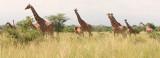 A large herd of giraffe.