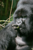 Silverback gorilla having a little snack